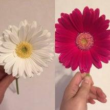 ガーベラの押し花をつ…