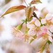 ★☽桜が満開で~す☽…