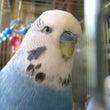 息子のとった鳥さん写…