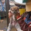 秋田犬の仔犬。残り男…