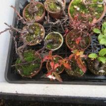 盆栽:寒い朝に咲く