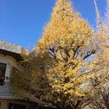 銀杏並木が…