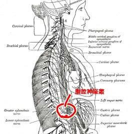 太陽 神経 叢 太陽神経叢とは?第2の脳と呼ばれる自律神経の束について気になる疑問...