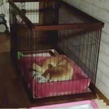 柴犬あずき~朝の日課…