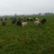 ドイツの田舎で羊飼い…