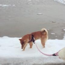 柴犬あずき~雪の中(…