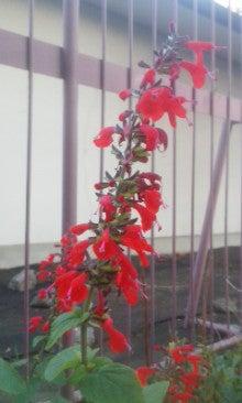 紅花サルビア171216_1614~01.jpg