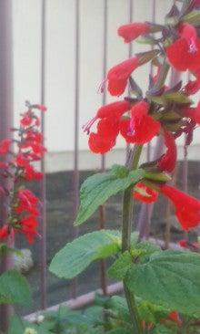 紅花サルビア171216_1615~01.jpg
