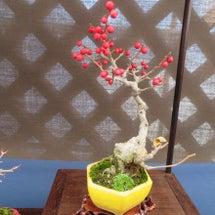 盆栽:12月の展示会…