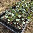 真冬にキャベツの定植