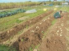 12月20ジャガ収穫 (2)
