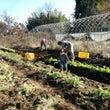 有機農園での援農