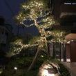 ☆★☆松の木(赤松)…