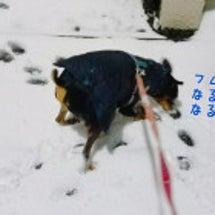 雪散歩とペコ誕生日☆