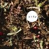 混乱しています!母子草とチチコグサモドキの画像