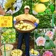 パール柑の収穫!