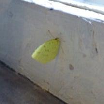 幸運を呼ぶ黄色い蝶々…