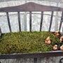 苔ベンチに球根を植え…