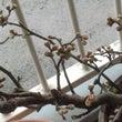 梅の花(2018.0…
