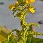 我が家の菜の花