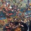 花芽の多いマグノリア…