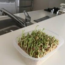 豆苗の2度目の収穫 …