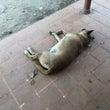 東南アジアの犬は寝相…