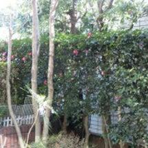庭の山茶花と。。