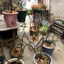バラの鉢の土替え作業