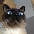 シャム猫風味なリョウ…
