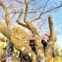大府中学校で桜の管理…