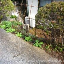 高柵くん花壇 定植完…