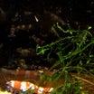 抱卵から、稚エビ誕生!と、謎の白いウネウネした生き物何?((((;゚Д゚)))))))