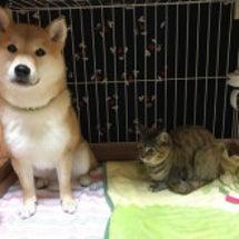 柴犬モモと雑種ネコの…