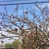 高浜神社の梅が咲き始めました!の画像