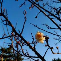 色別の梅の花言葉とカ…
