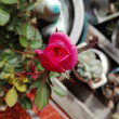 春に向けてのバラ