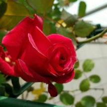 薔薇のエール。るみさ…