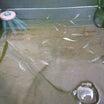 キッカー (自宅)と  実家飼育場の水替え✨   メダカ飼育
