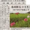 沖縄のコスモスの画像