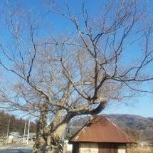 大きなけや木