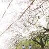 印西の桜の下での画像