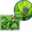 冬に咲くワスレナグサ