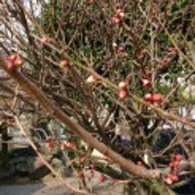 寒さの中、梅の蕾ふく…