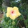 沖縄で咲いていた花たちの画像