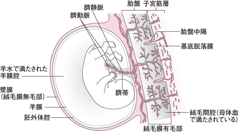 受精~妊娠~妊娠中のトラブル~出産~授乳まで