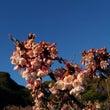 元朝桜とメジロ
