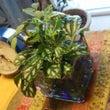 ルームの草鉢
