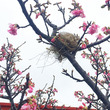 桜に鳥の巣