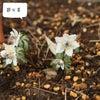 白い小花 節分草の画像